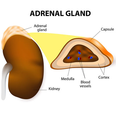 What Do Adrenal Hormones Do